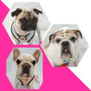 Frenchiestore Frenchiestore Breakaway Hundehalsband | Pink StarPup Bewertung