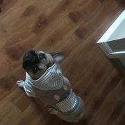 هودي البلدغ الفرنسي Frenchiestore باللون الرمادي | الملابس الفرنسية | استعراض الكلب الفرنسي الأزرق