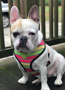 Frenchiestore Frenchiestore Reversible Dog Harness | Apple Review