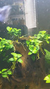Your Fish Stuff Anubias nana 'petite' Review
