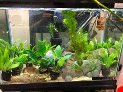Your Fish Stuff Anubias barteri Review