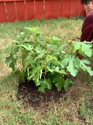 PlantingTree™ Online Garden Center Celeste Fig Tree Review