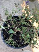 PlantingTree™ Online Garden Center Lo and Behold Blue Chip Jr Butterfly Bush Review