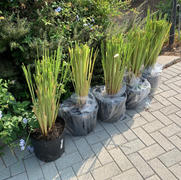 PlantingTree™ Online Garden Center Pampas Grass Review
