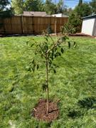 PlantingTree™ Online Garden Center Weeping Yoshino Cherry Tree Review