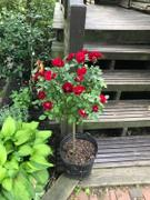 PlantingTree™ Online Garden Center Red Sunblaze Miniature Rose Tree Review