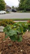 PlantingTree™ Online Garden Center Ruby Slippers Oakleaf Hydrangea Review