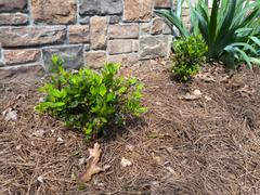 PlantingTree™ Online Garden Center Autumn Bonfire Encore Azalea Review