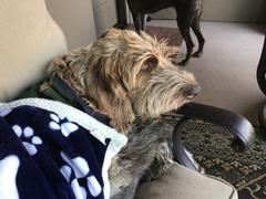 Inkopious Gus the German Wirehaired Pointer  - Valentine Collection Review