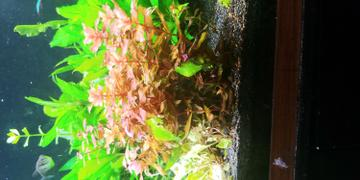 Aqua Lab Aquaria Rotala macrandra 'Mini Butterfly' Review