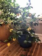 Fast-Growing-Trees.com Meyer Lemon Tree Review