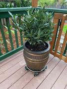 Fast-Growing-Trees.com Bay Laurel Review