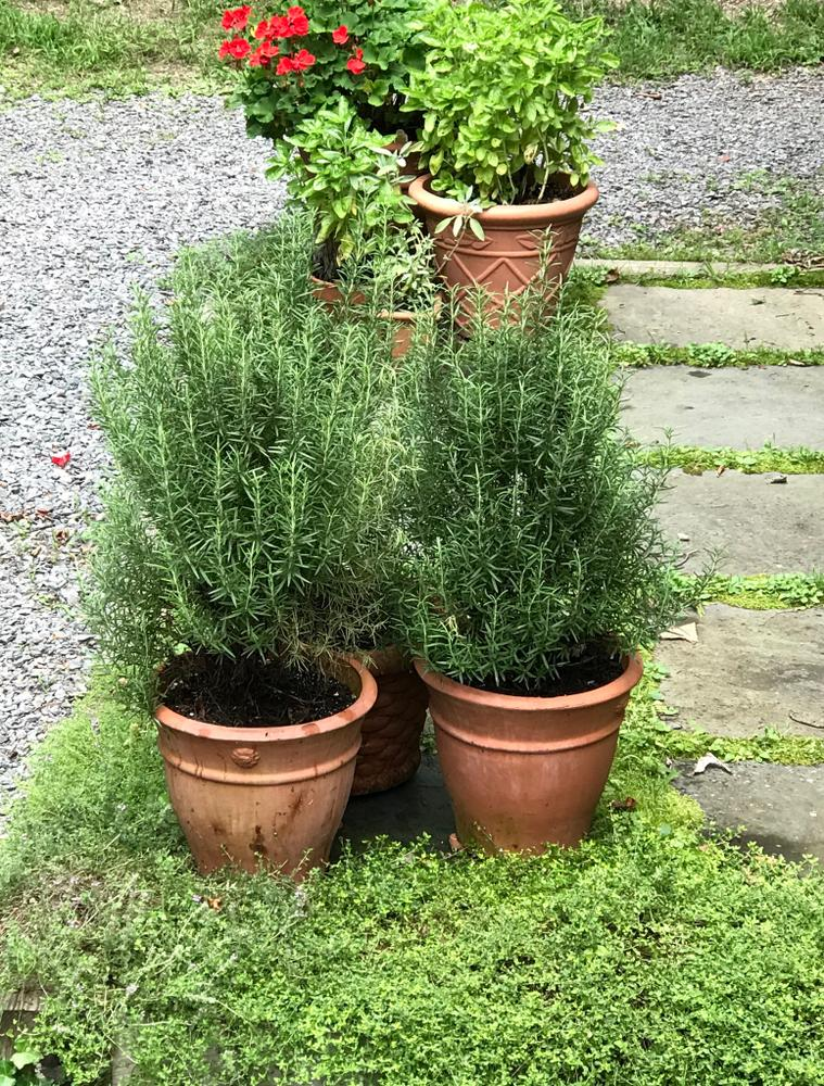 Tuscan Rosemary Plants For Sale Fastgrowingtrees Com