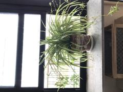 Fast-Growing-Trees.com Spider Plant Review