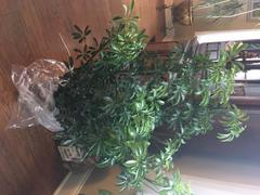 Fast-Growing-Trees.com Dwarf Umbrella Tree - Schefflera Review