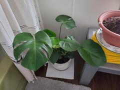 Fast-Growing-Trees.com Monstera (Swiss Cheese Plant) Review