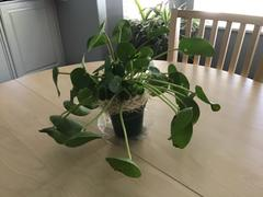 Pistils Nursery Pilea peperomioides - Chinese Money Plant Review