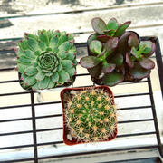 Pistils Nursery Succulent and Cactus Assortment Review