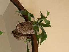 Pistils Nursery Staghorn Fern Cork Mount Review