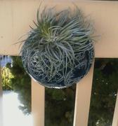 Pistils Nursery Stricta Air Plant Review