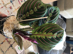 Pistils Nursery Philodendron Kokedama Review