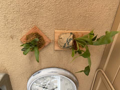 Pistils Nursery Mounted Staghorn Fern in Vintage Burlap Review