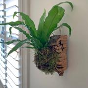 Pistils Nursery Bird's Nest Fern Cork Mount Review