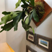 Pistils Nursery Staghorn Fern Plaque Review
