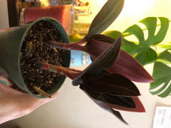 Pistils Nursery Ludisia discolor - Jewel Orchid Review