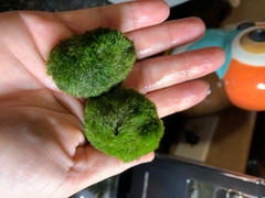 Pistils Nursery Marimo Moss Ball Review