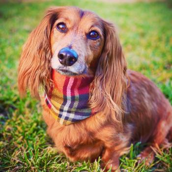 Dope Dog Co Apple Spice - Dog Scarf Review