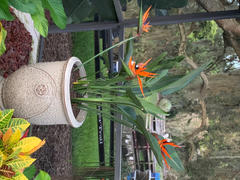 Afloral.com Large Indoor/Outdoor Artificial Bird of Paradise Spray - 36 Review