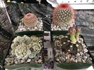 Lai H. verified customer review of Mammillaria spinosissima