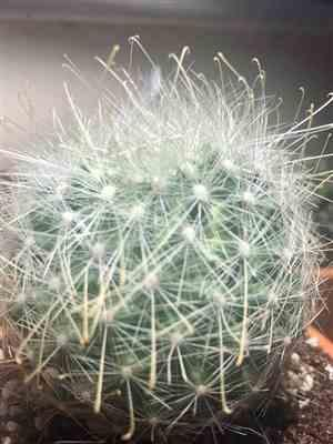 Larry Wasserman verified customer review of Mammillaria senilis