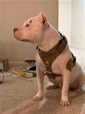 M Cruz  verified customer review of NH8 - Name Plate Cone Spiked Leather Harness