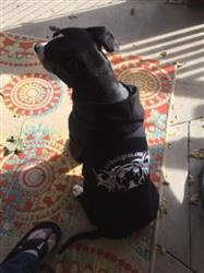 Joe A. verified customer review of PIT BULL GEAR - ZIPPER DOG HOODIE