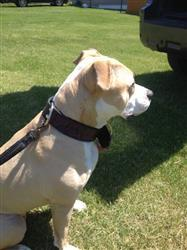 Michelle L. verified customer review of 2 Wide Leather Dog Collar