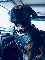 Sarah f. verified customer review of NH3 - Name Plate Studded Leather Harness