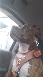 Valerie R. verified customer review of NH4 - Name Plate Leather Dog Harness