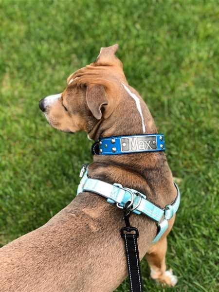 Pit Bull Gear N10 - 1 1/2 Name Plate Studded Leather Dog Collar Review