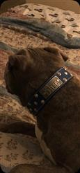 Robert P. verified customer review of WN1 - 2 Name Plate Cone Studded Leather Dog Collar