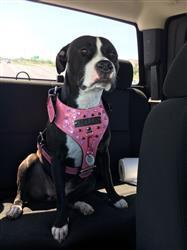 Ryan S. verified customer review of NH9 - Name Plate Dog Harness w/Gems & Bucket Studs