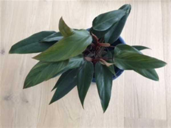 Amélie  verified customer review of Philodendron Ruby