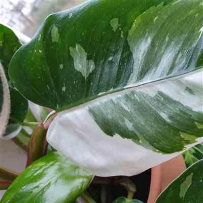 doryladame verified customer review of Philodendron White Princess
