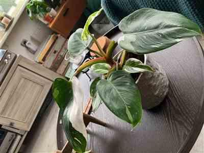 Sanne Baaij verified customer review of Philodendron White Princess