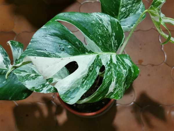 Groen in Huis | Stephanie Keijzer Monstera Variegata Review