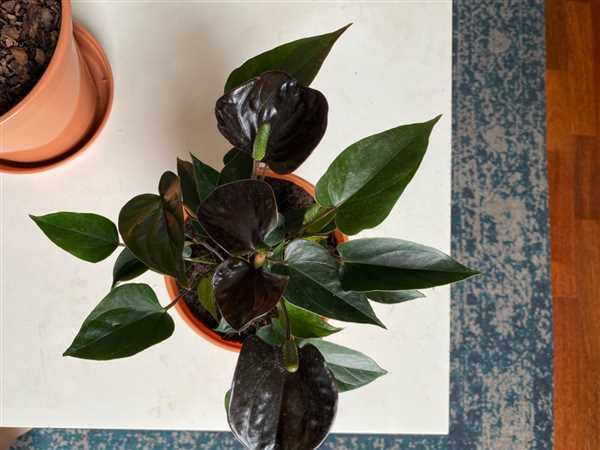 Alysha Kinsella verified customer review of Anthurium 'Black Love'