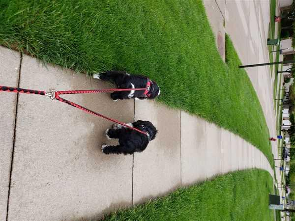Joyride Harness Double Dog Leash Review