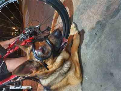 Rebeca Flores  verified customer review of Goggles Lentes Para Perros Medianos de 9 a 18 kg Rex Specs