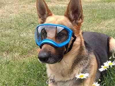 Manuel L. verified customer review of Goggles Lentes Para Perros Medianos de 9 a 18 kg Rex Specs